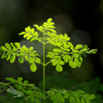 How to Grow Moringa Tree in Containers: Indoors Growing Guide