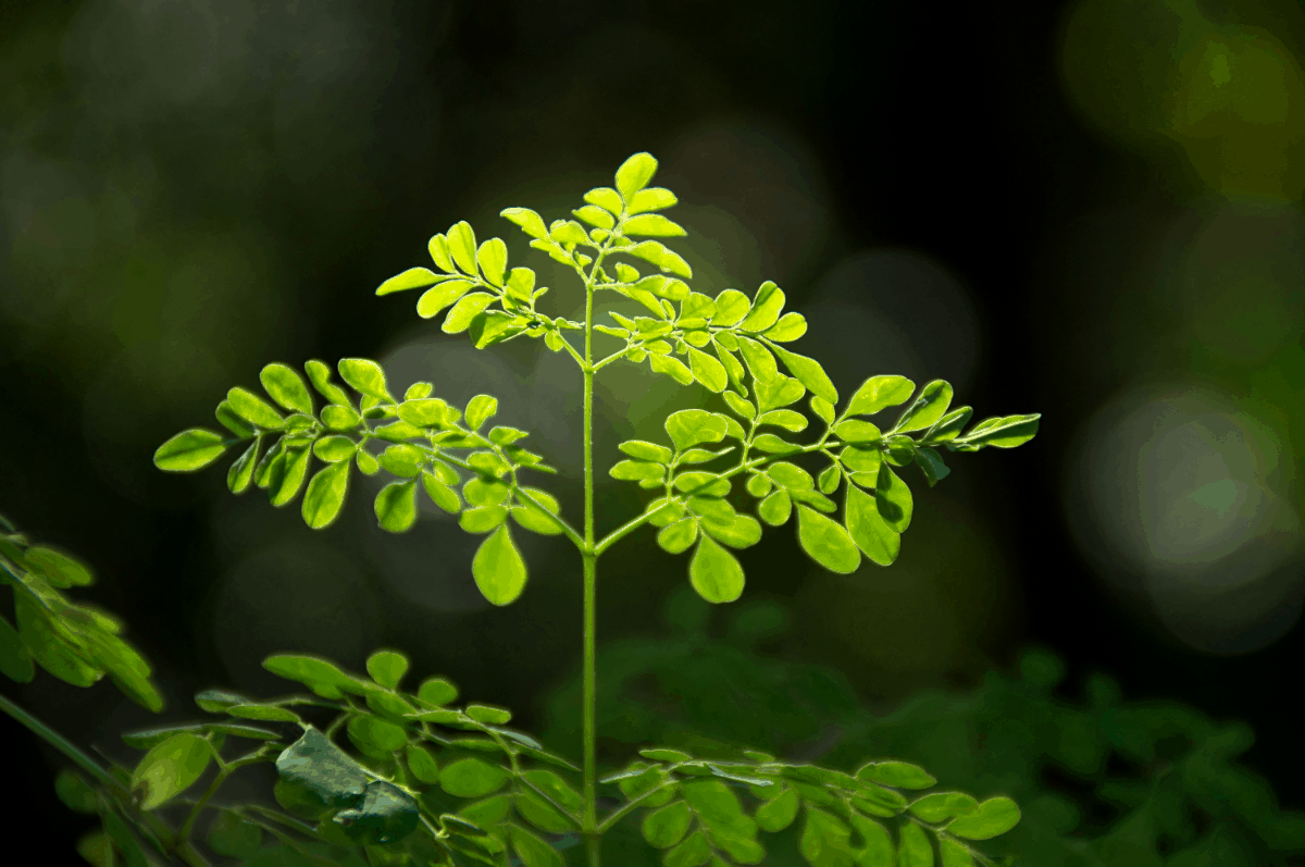 How to Grow Moringa Tree in Containers Indoors Growing Guide