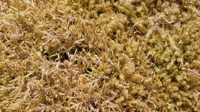 Can You Consume too Much Sea Moss Side Effects