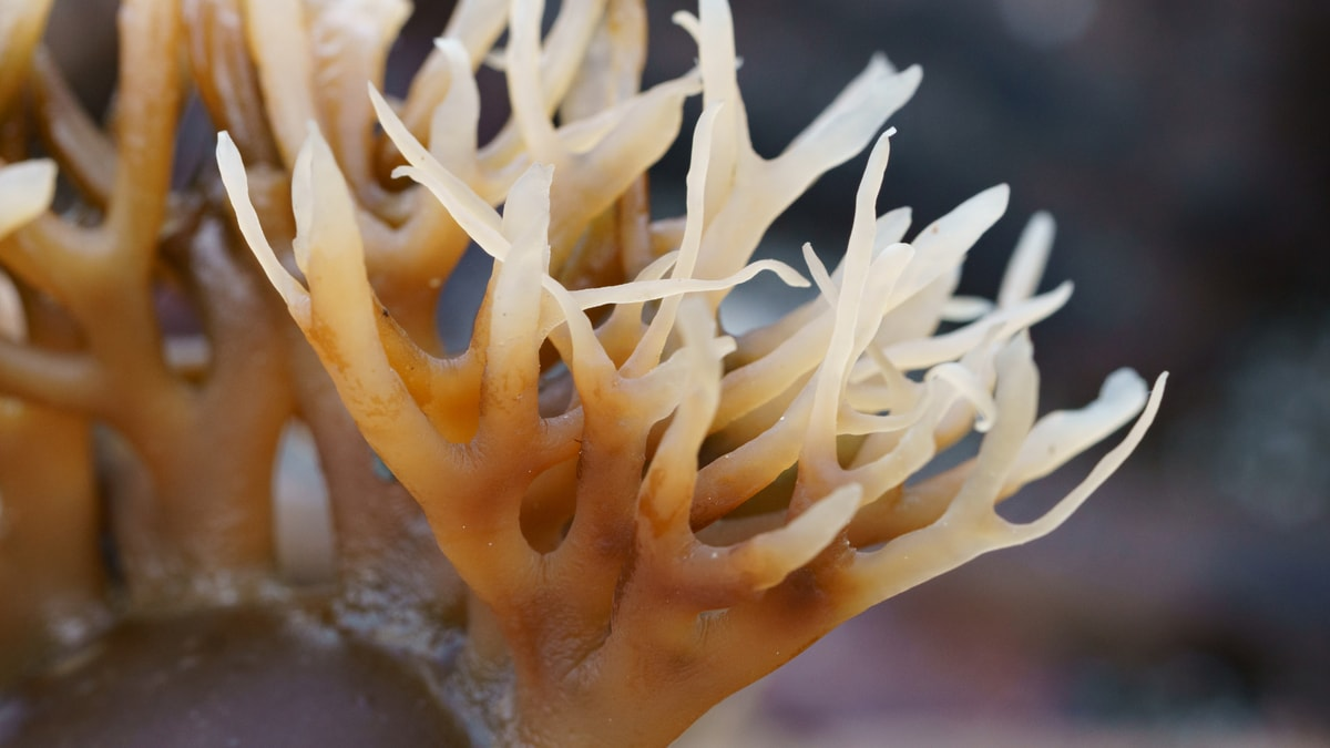 How Much Sea Moss to Take Daily