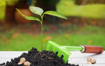How To Plant Lemon Seeds In Your Garden